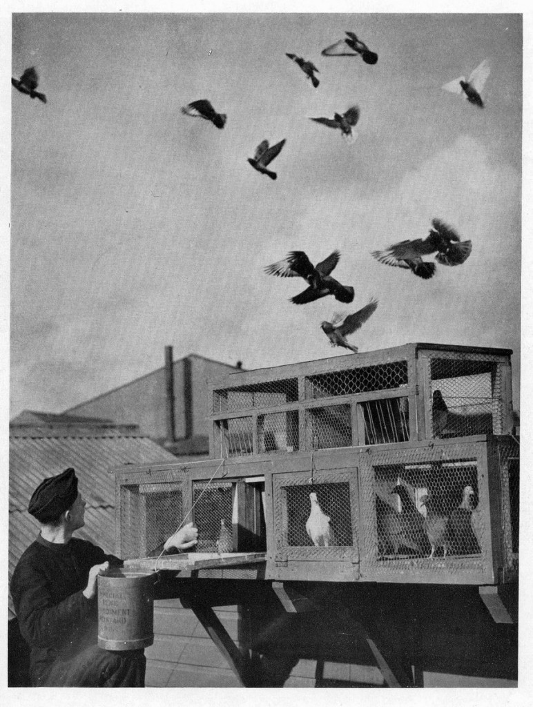 RAF homing pigeon via Adelaide Archivist